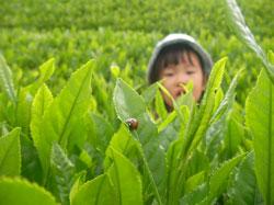 お取り寄せスイーツ 抹茶プリンの使用する茶畑