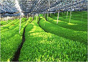 摘み取った茶畑まで特定出来ます