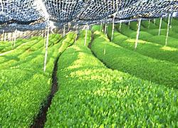 摘みとった茶畑まで特定出来ます